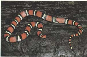 red snake with black, yellow, black rings