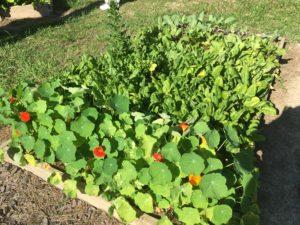 Raised bed garden full of plants
