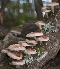 Cover photo for Growing Your Own Shiitake Mushrooms - Registration Open