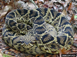 Image of an eastern diamondback rattlesnake