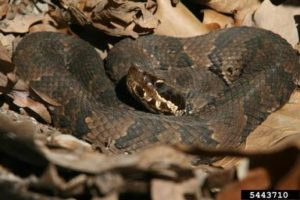 Image of a water moccasin